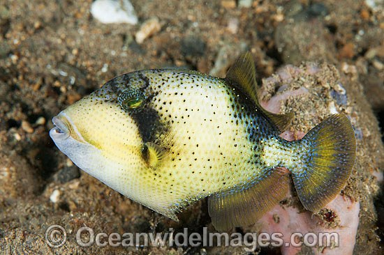 Yellow-margin Triggerfish (Pseudobalistes flavimarginatus) - juvenile. Found thoughout the Great Barrier Reef, NW Australia, SE Asia and Indo-central Pacific.