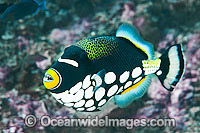 Clown Triggerfish Photo - Gary Bell