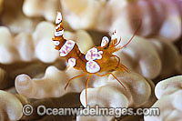 Anemone Shrimp on Sea Anemone Photo - Gary Bell