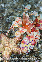 Harlequin Shrimp feeding on sea star image