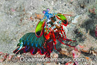 Mantis Shrimp Photo - Gary Bell