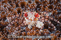 Boxer Crab resting on coral Photo - Gary Bell