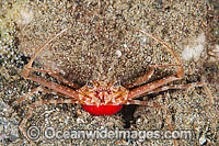 Scissors Crab with eggs Photo - Gary Bell