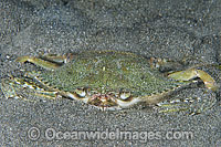 Swimmer Crab in sand Photo - Gary Bell