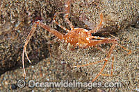 Scissors Crab Lupocyclus philippinensis Photo - Gary Bell