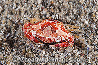Harlequin Crab Lissocarcinus laevis Photo - Gary Bell