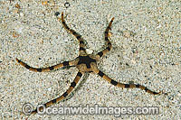 Brittle Star Photo - Gary Bell