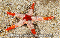 Orange Marble Sea Star Fromia monilis Photo - Gary Bell