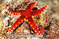 Sea Star Fromia sp. Photo - Gary Bell