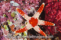 Orange Marble Sea Star Photo - Gary Bell