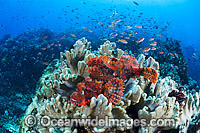 Scorpionfish and Soft Corals photo