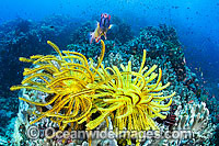 Crinoids and Soft Corals photo