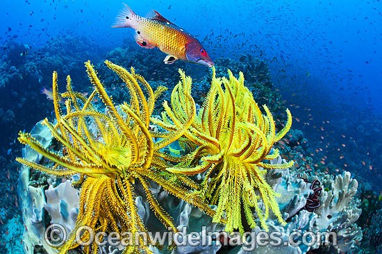 Colourful tropical reef scene, comprising of Crinoid Feather Stars, Soft Corals, a single Pacific Diana's Wrasse and masses of schooling Basslets. A typical reef scene found throughout the Indo-Pacific, including the Great Barrier Reef, Australia. Photo - Gary Bell