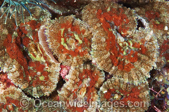 Corallimorpharian (Discosoma sp.). Anatomically like hard coral, but resembles anenome in appearance. Often seen carpeting reef flats and slopes throughout the Indo Pacific. Can inflict a painful sting on humans. Anilao, Philippines. Coral Triangle. Photo - Gary Bell