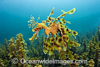 Leafy Seadragon male with eggs Photo - Michael Patrick O'Neill