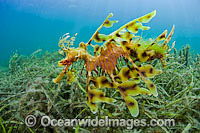 Leafy Seadragon male with eggs under tail Photo - Michael Patrick O'Neill