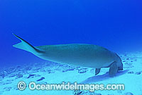 Dugong underwater photo