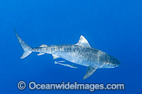 Tiger Shark Photo - Gary Bell