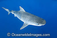 Tiger Shark underwater Photo - Gary Bell