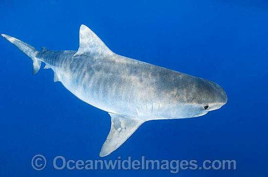 Tiger Shark Great Barrier Reef photo