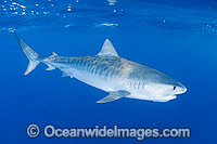 Tiger Shark Great Barrier Reef Photo - Gary Bell