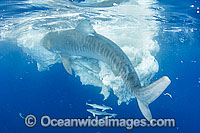 Tiger Shark attacking Whale carcass Photo - Gary Bell