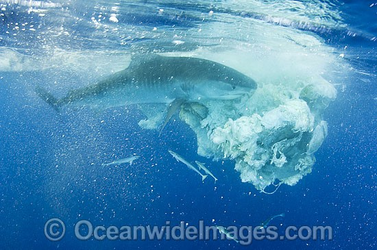 Tiger Shark (Galeocerdo cuvier), feeding on the remains of a Sperm Whale carcass, drifting in Great Barrier Reef waters, Qld, Australia. Found in Tropical seas, with seasonal sightings in warm temperate areas. Photo - Gary Bell