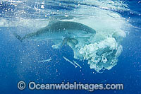 Tiger Shark attacking Sperm Whale carcass Photo - Gary Bell