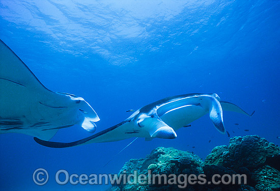 A pair of Giant Oceanic Manta Rays (Manta birostris), being cleaned at a fish cleaning station. Also known as Devil Ray and Devilfish. Photo taken at the Bommie, Heron Island, Great Barrier Reef, Queensland, Australia. Photo - Gary Bell
