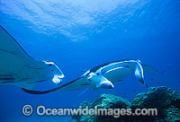 Manta Rays at cleaning station photo