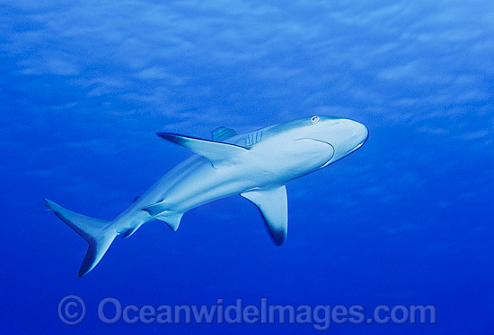 Gray Reef Shark (Carcharhinus amblyrhynchos). Also known as Grey Reef Shark, Black-vee Whaler and Longnose Blacktail Shark. Found throughout the tropical Indo-West and Central Pacific. Photo taken on the Great Barrier Reef, Australia. Photo - Gary Bell