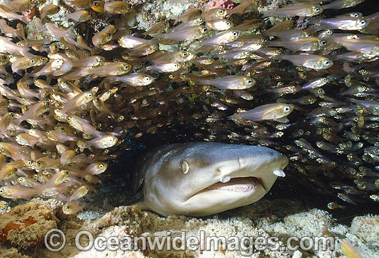 Whitetip Reef Shark (Triaenodon obesus), resting motionless under a ledge whilst surrounded by schooling Cardinalfish. Photo taken on the Great Barrier Reef, Queensland, Australia. Photo - Gary Bell