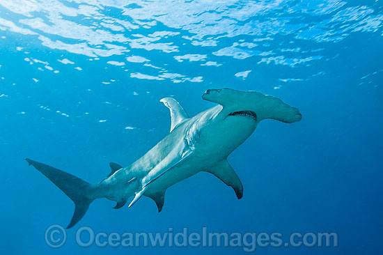 Great Hammerhead Shark (Sphyrna mokarran). Found throughout the world in tropical and warm temperate seas. Photo taken on the Great Barrier Reef, Australia. Photo - Gary Bell