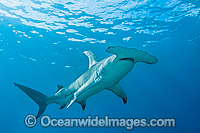 Great Hammerhead Shark Sphyrna mokarran Photo - Gary Bell