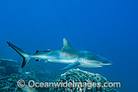 Gray Reef Shark with suckerfish attached photo