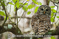 Barred Owl Strix varia image