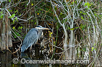 Great Blue Heron Ardea herodias Photo - Michael Patrick O'Neill