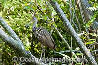 Limpkin Aramus guarauna Photo - Michael Patrick O'Neill