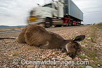 Dead Kangaroo on roadside Photo - Michael Patrick O'Neill