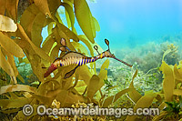 Weedy Seadragon with eggs Photo - Michael Patrick O'Neill