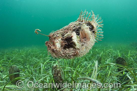 Tasselled Anglerfish (Rhycherus filamentosus), swimming in mid-water. Note fishing lure extended above mouth. Photo taken at Port Hughes, South Australia. Photo - Michael Patrick O'Neill