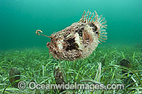 Tasselled Anglerfish with lure Photo - Michael Patrick O'Neill