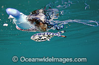 Portuguese Man of War Jellyfish with Man of War fish photo
