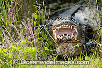 American Alligator Photo - Michael Patrick O'Neill