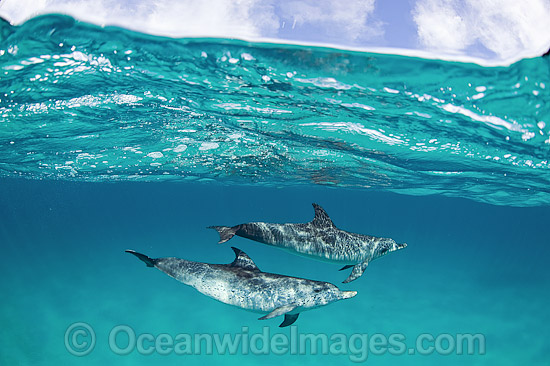 Atlantic Spotted Dolphin (Stenella frontalis). Photo taken in the White Sand Ridge, Northern Bahamas, USA.