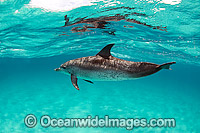Atlantic Spotted Dolphins Photo - Michael Patrick O'Neill