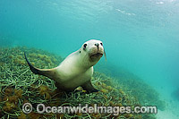 Australian Sea Lions playing underwater Photo - Michael Patrick O'Neill