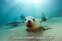 Australian Sea Lions underwater Photo - Michael Patrick O'Neill
