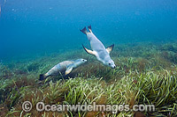 Australian Sea Lions swimming underwater Photo - Michael Patrick O'Neill