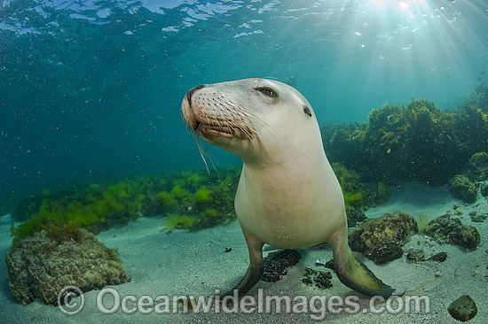 Australian Sea Lion (Neophoca cinerea), swimming and playing in the shallows of Hopkins Island, South Australia. Classified Endangered on the IUCN Red List. Photo - Michael Patrick O'Neill